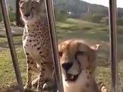A Cheetah Roaring Meow