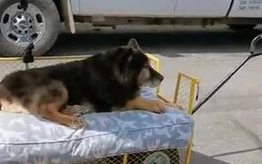 Old Dog Enjoying Luxury