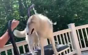Husky Shedding Fur