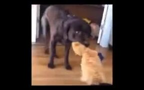 Dogs Playing Tug Of War With A Stuffed Cat