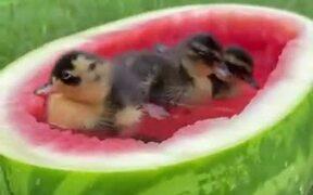 A Special Bathtub For Ducklings