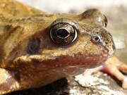 Frog Breathing