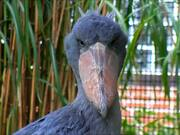 Shoebill Close-Up