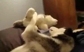 Husky Playing With Stuffed Husky
