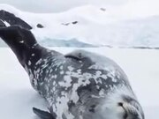 Even Seals Talk In Their Sleep