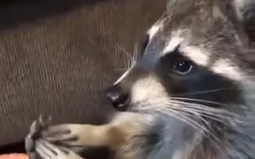 This Racoon Loves A Foot Rub