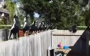 Trained White Crows