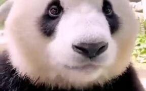 Panda Eating A Young Bamboo Tree