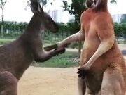 A Kangaroo Couple Fighting
