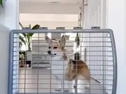 Poor Corgi Unable To Jump A Fence