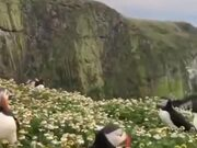 A Gorgeous Puffin Field
