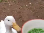 Two Ducks Vs A Bowl Of Peas