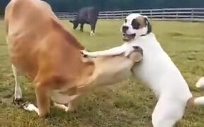 Best Friends: A Cow And A Dog