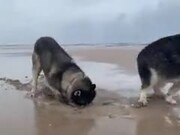 Huskies On The Beach