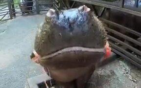 A Hippo Eating Watermelon