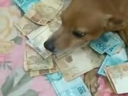 Dog Strictly Guarding Money
