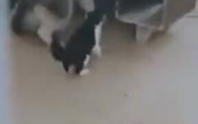 Husky Bullied By A Cat