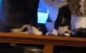 How Two Civilized Cats Fight