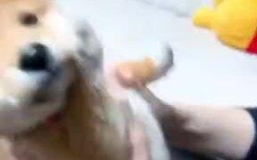 A Reason To Adopt A Shiba Inu Puppy