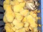 Cat Enjoying A Chick Filled Tray
