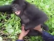Do Gorillas Feel Ticklish?