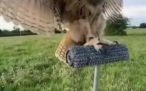 Trained Owl Landing In Slow Motion
