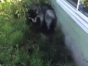 Husky Enjoying Bath By Getting Dirty