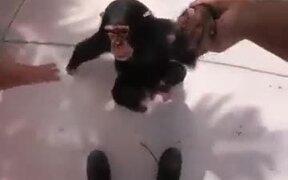 A Chimp Who Wants Human Love
