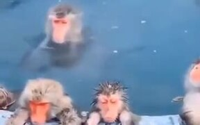 Monkeys In Japan Enjoying A Bath