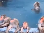 Monkeys In Japan Enjoying A Bath