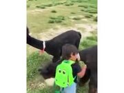Alpaca Hugs A Little Kid