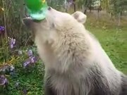A Bear That Loves Carbonated Drinks