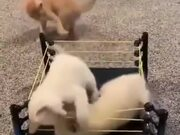 Kittens Fighting Inside A Ring