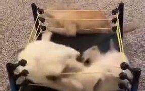 Kittens Fighting Inside A Ring