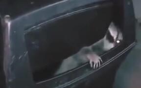 Raccoon Answering Knock On The Door