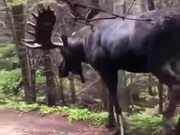 A Giant Scary Moose Walking In Forest