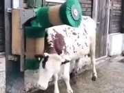 Cow Enjoying A Good Scratch