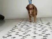 A Dog Who Mustard Balancing Tricks