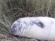 White Baby Seal Napping On Land