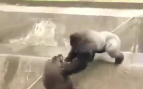 Silverback Gorilla Ruling Others