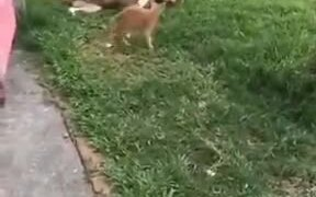 Kitten Attacking Dog