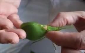 A Unique Leaf Bug