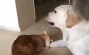 Irritating House Cat Vs Dog
