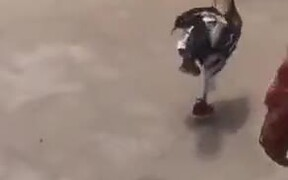 Chicken Wearing Pant And Shoes