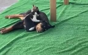 Cat Giving Massage To A Dog