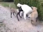 When A Big Dog Plays With Others