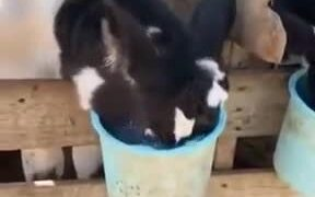Chuck The Hungry Cow