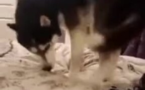 Husky Scared Of Its Own Tail