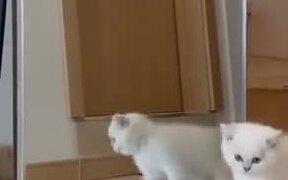 White Kitten Attacking The Mirror