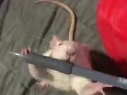 A Unique, Pen Stealing White Rat
